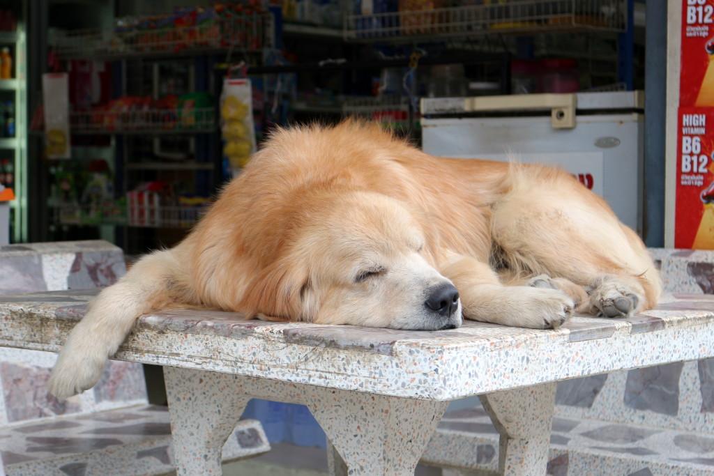 This dog has mastered the Samui lifestyle