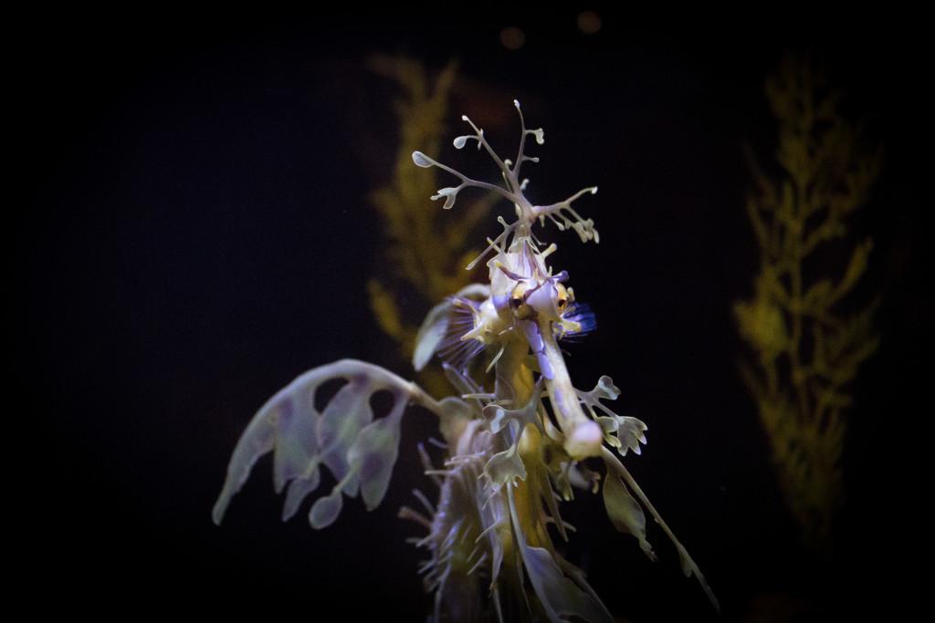 BirchAquariumSeaHorse-2
