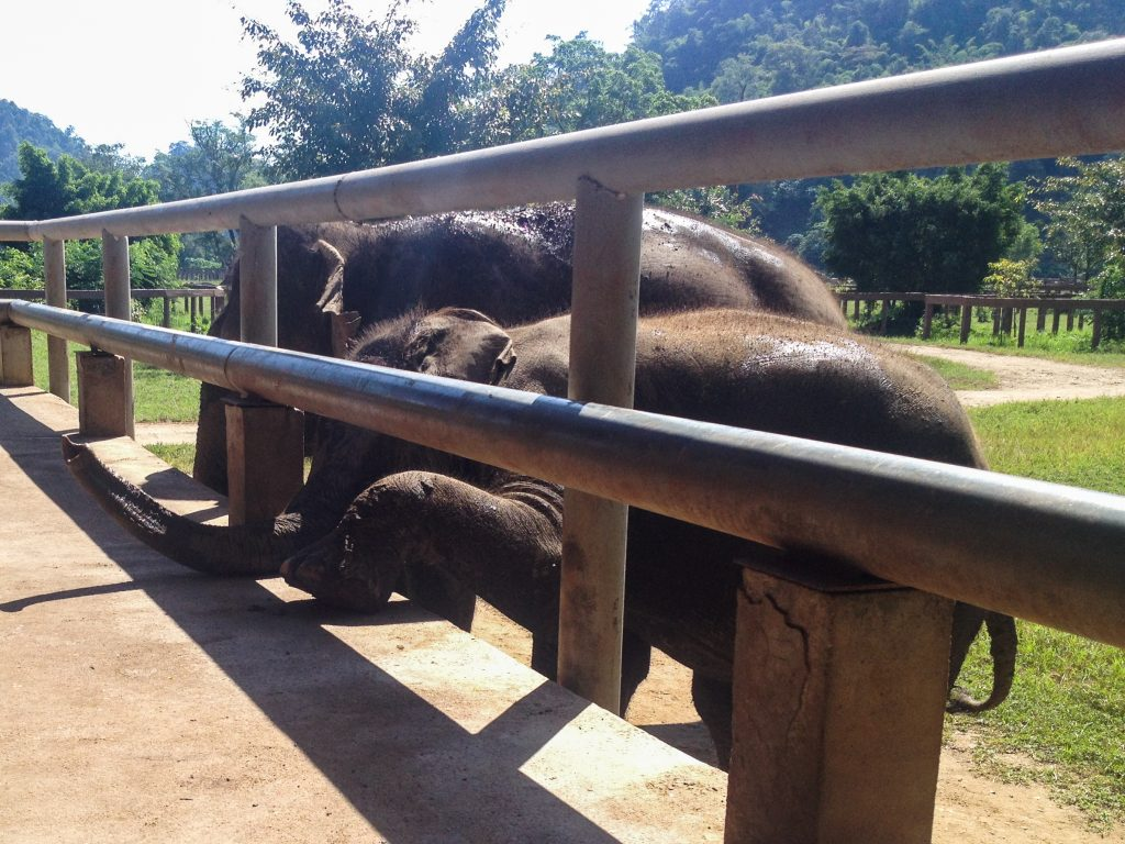 feeding the baby elephant elephant nature park