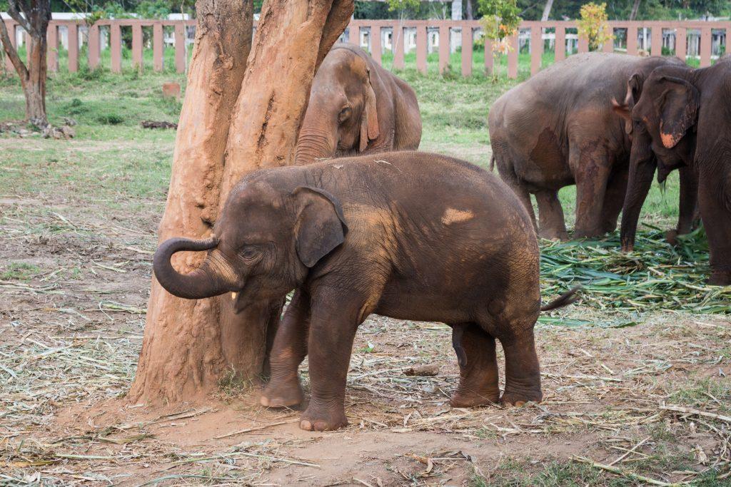 baby elephant elephant nature park