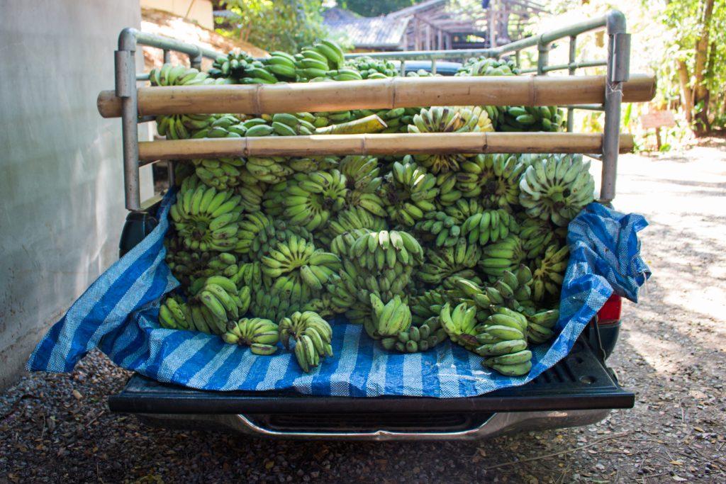 elephant nature park bananas