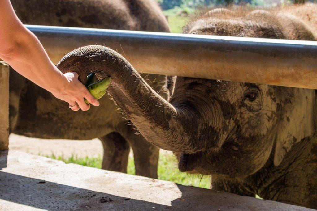 ElephantNatureParkBananas2
