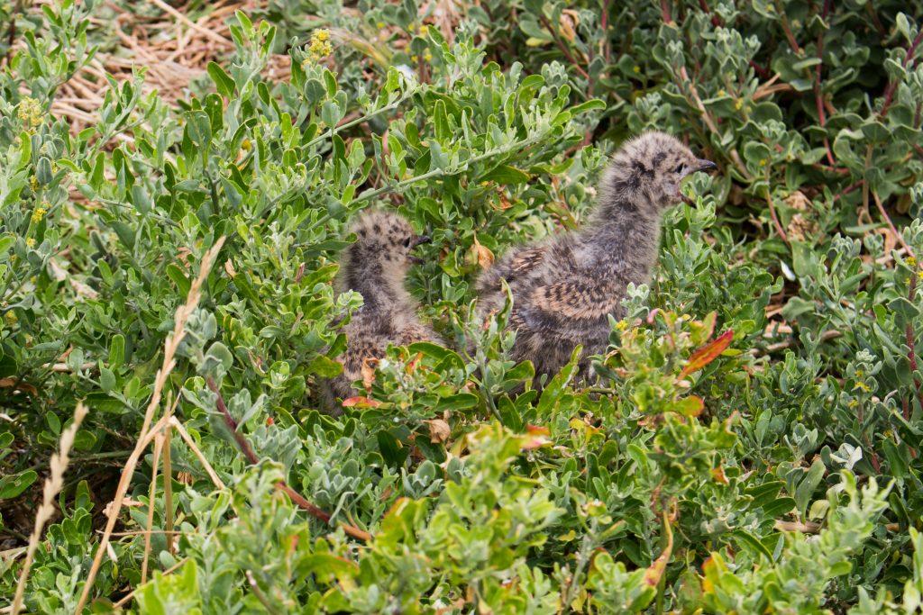 Seagull chicks on Penguin Island