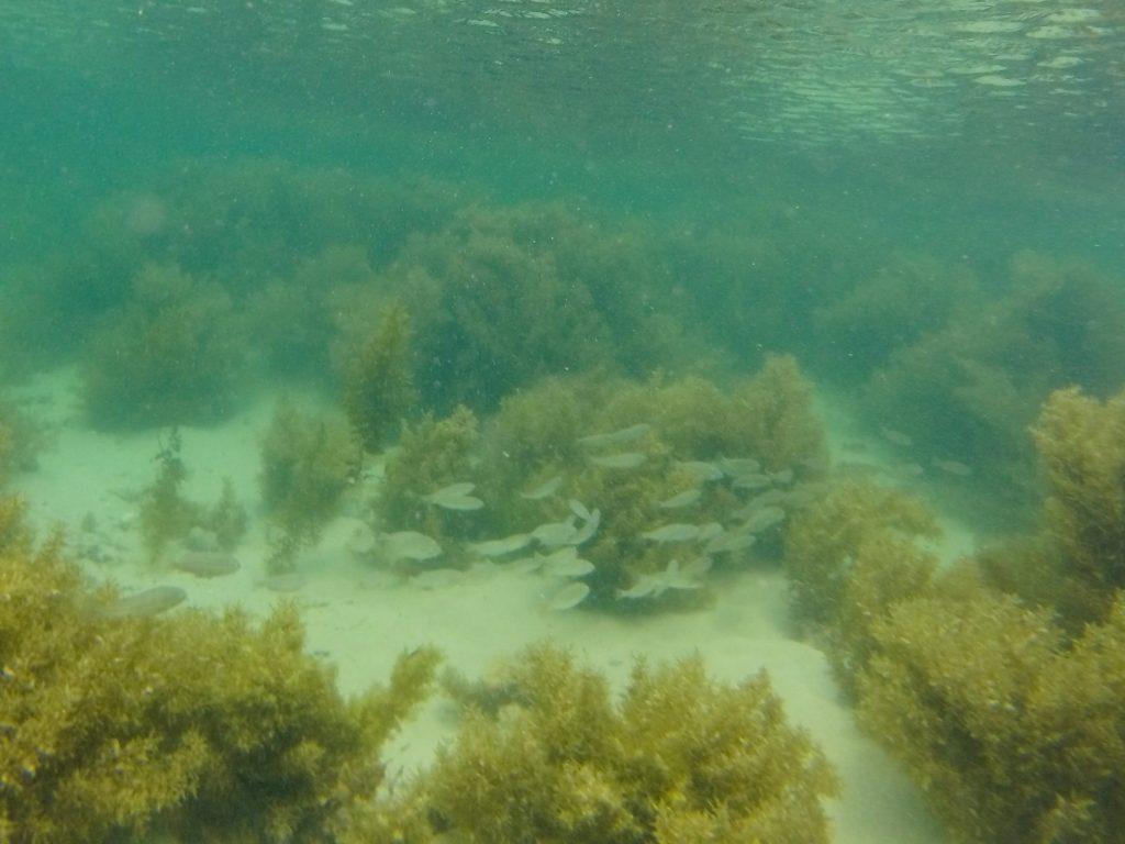 School of fish seen at Penguin Island