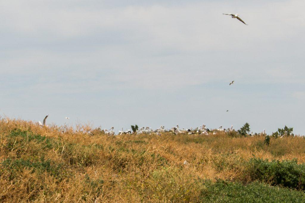 Pelican colony at Penguin Island