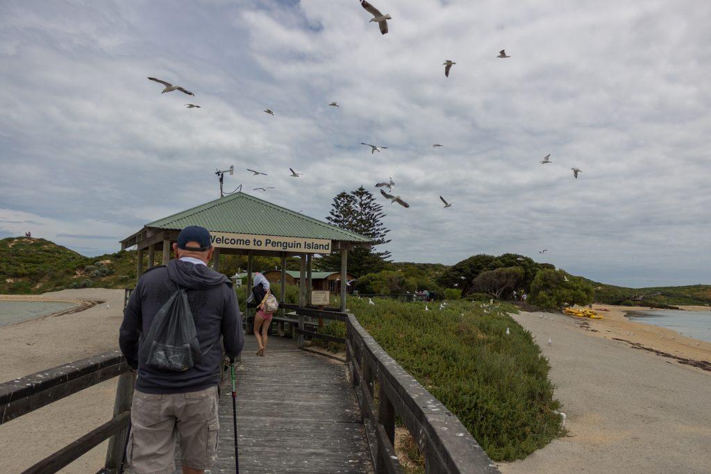 Seagulls flying around Penguin Island