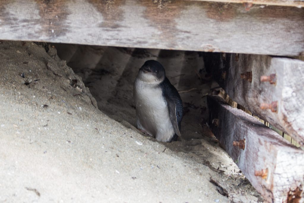 Penguin hiding under walkway at Penguin Island