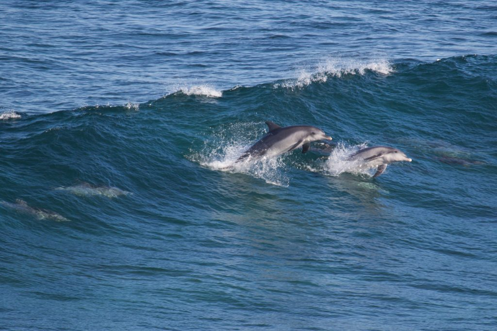 When there's no whales, there's a high chance you could catch a glimpse of surfing dolphins!