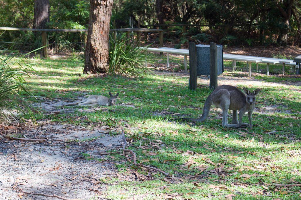 Jervis bay kangaroo