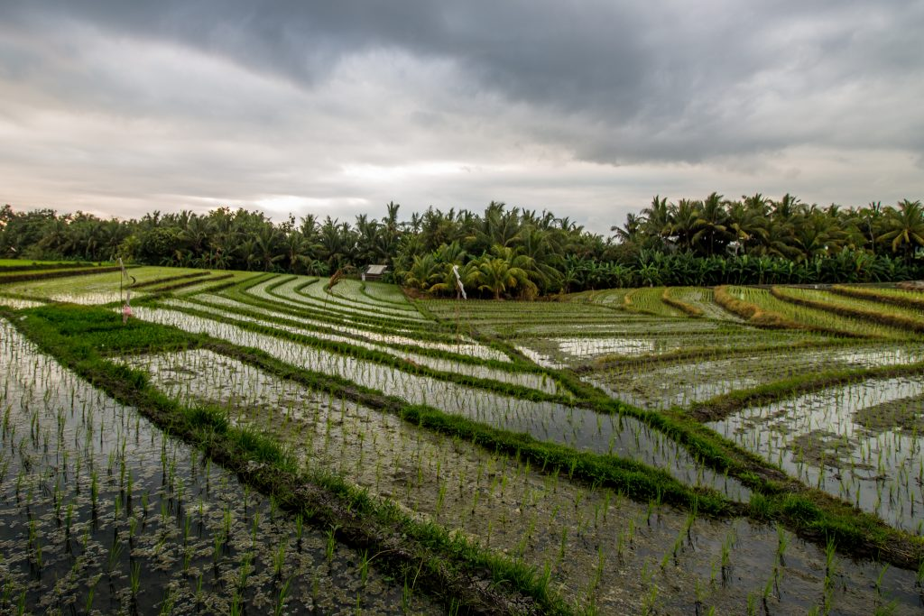 ricefields1