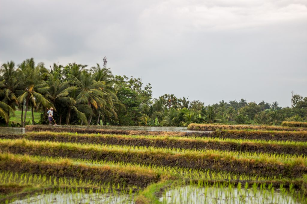 ricefields2